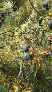 Surrounded by lichen on the blackthorn